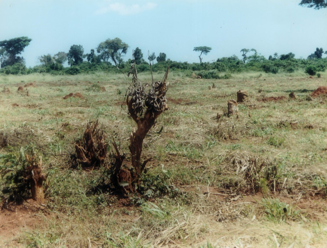 Part-of-a-Ugandan-forest-cleared-of-trees